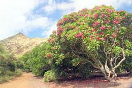 Merveilleux MainKoko. Koko Crater Botanical Garden